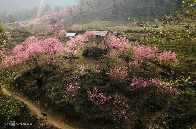 Blooming peach blossoms embellish beauty of Phin Ho village