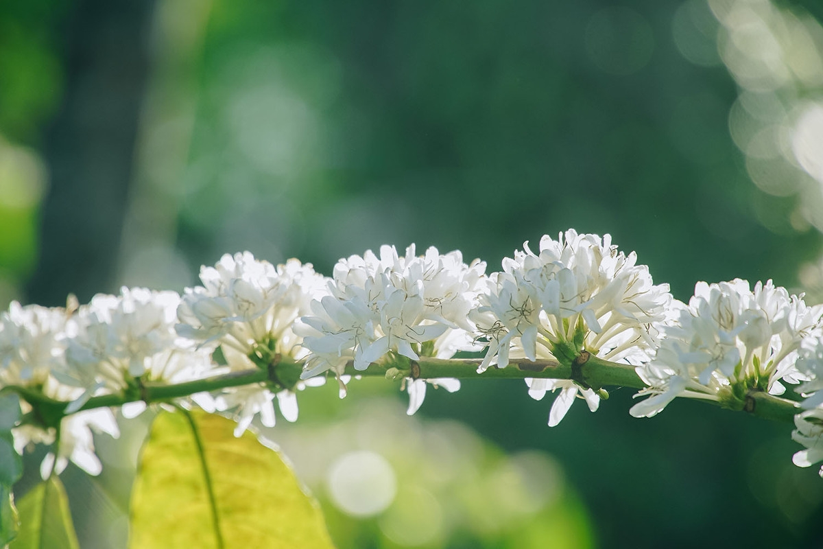 The gorgeousness of coffee flowers under the eyes of local photographer