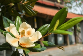 land lotus in boi khe temple a precious gift from mother nature