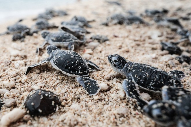 bustling sea turtle nesting season in con dao