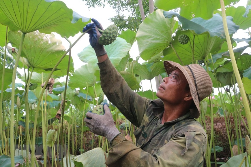 A farmer collects lotus pods in Chuyen Ngoai Commune