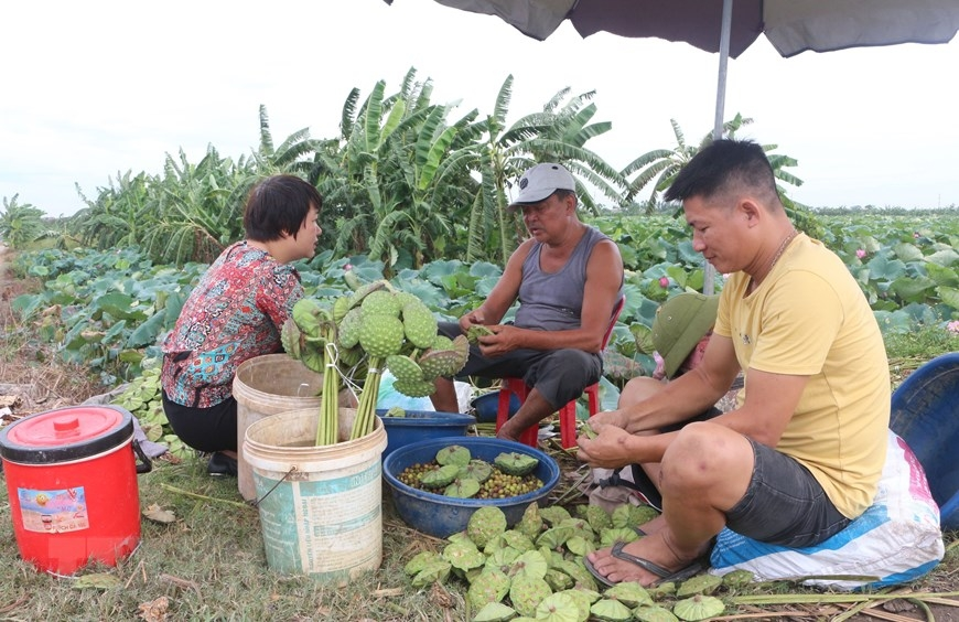Each people can work up on 40 lotus pods per day