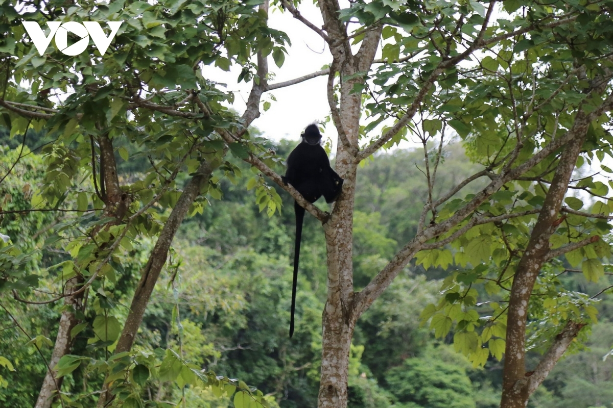 The langurs often jump onto the street all of a sudden to scare passers-by