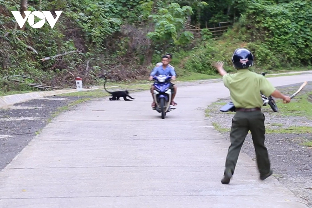 Stray langurs attack passers-by on roads