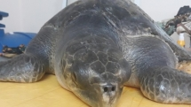 sick sea turtle has been rescued and cared in da nang vietnam